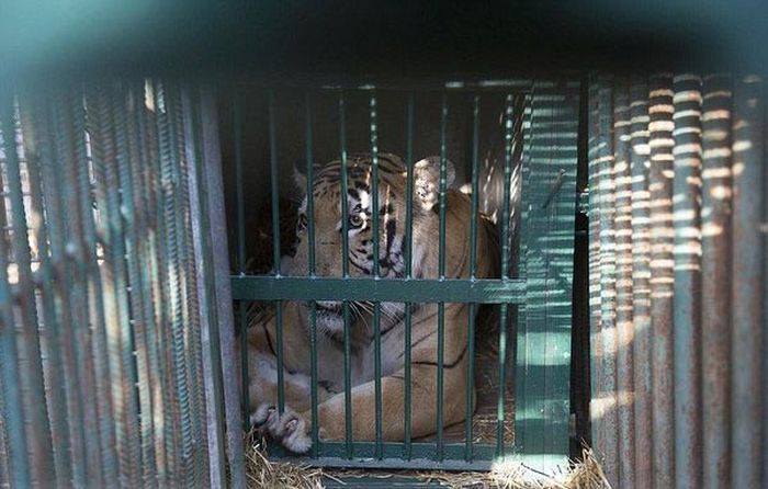 A Touching Story About A Rescued Tiger (8 pics)