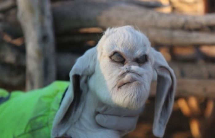 Goat With A Human Face Found In Argentina (4 pics)