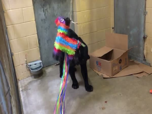 Brutus And His Pinata