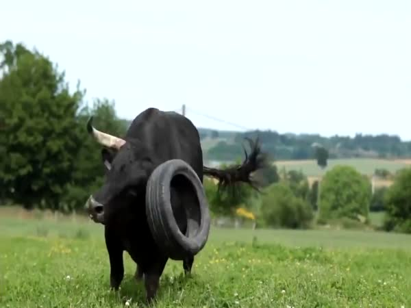 Bull Playing With Tyre