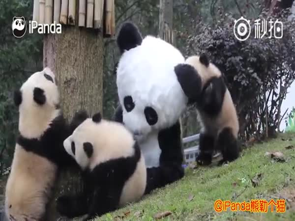 Panda Keepers Probably Have The Best Job in The World