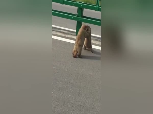 Massive Squirrels Have 'Road Rage' Battle On The Road