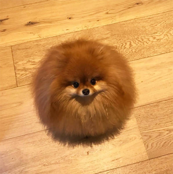 It Turns Out That Pomeranians Are Water Soluble (6 pics)