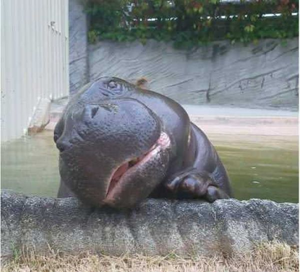 Hippo With A Sense Of Humor (4 pics)