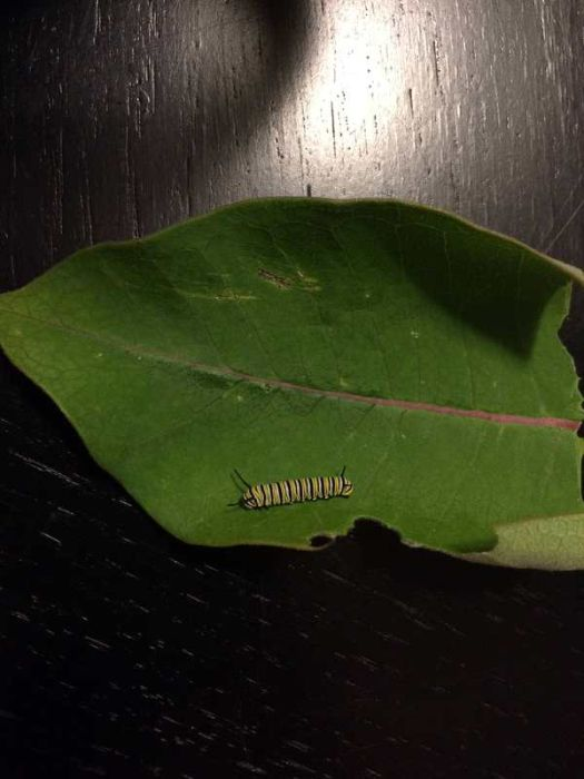 Journey Of A Monarch Butterfly From Egg To Butterfly (21 pics)