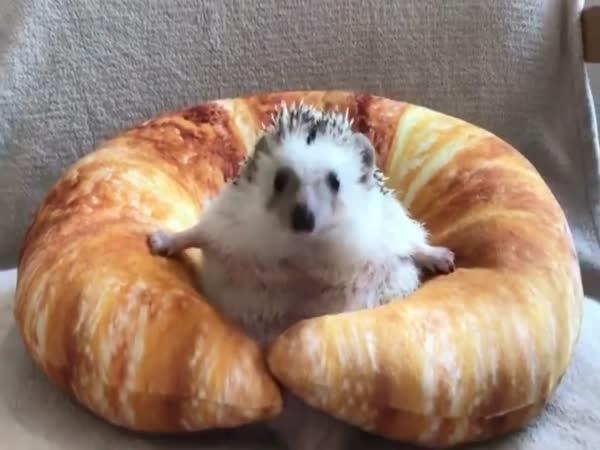 Grumpy Hedgehog Gets Stuck In Croissant