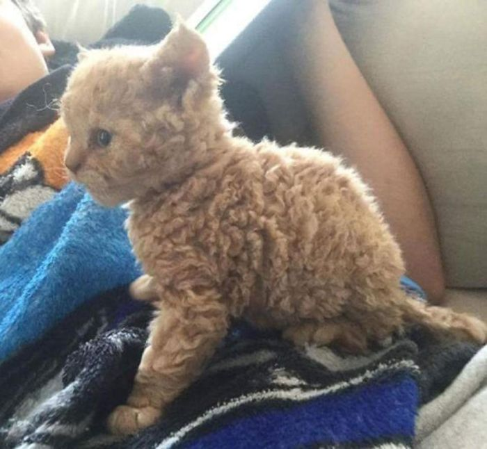 Selkirk Rex Kittens Are Adorable (5 pics)