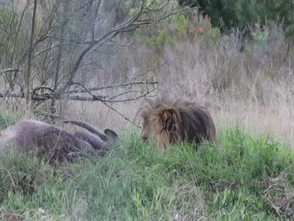 This Is How Fast A Lion Can Charge You