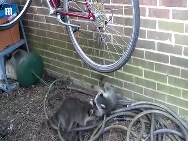 Pesky Raccoons Wrestle Over Hanging Bicycle Tire They've Turned Into a Swing