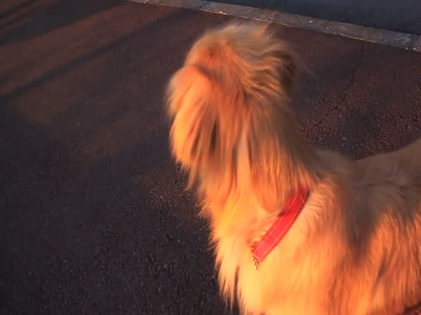 Dog Imitating a Police Siren