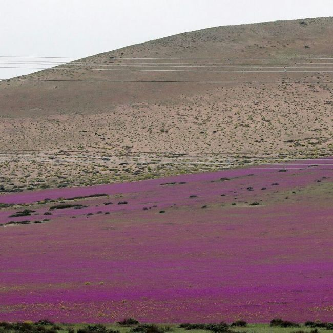 The Most Arid Desert In The World Is In Bloom (4 pics)