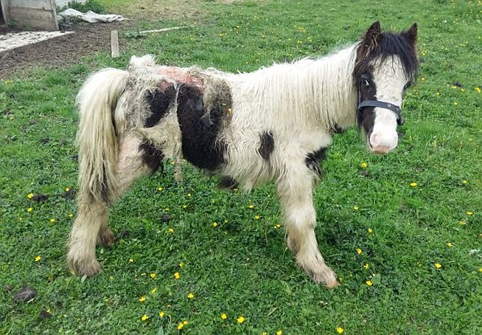 Pony Wins Major Horse Show One Year After Being Left For Dead (2 pics)
