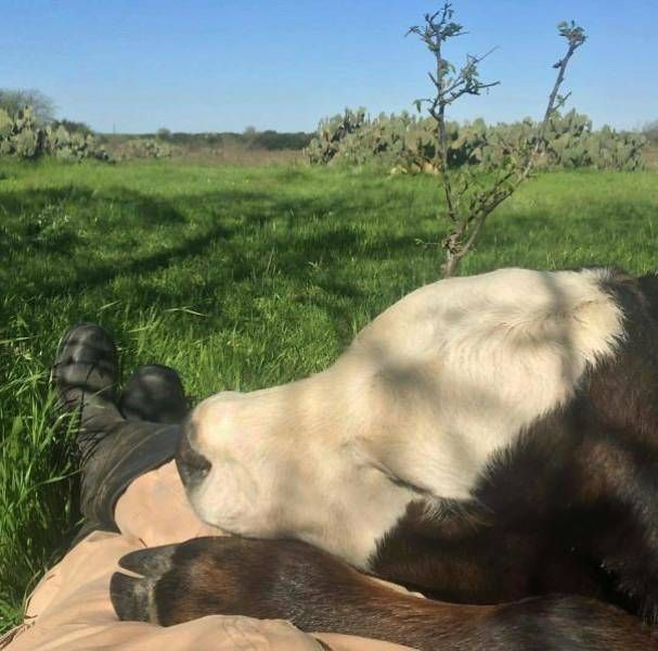 Cows Actually Make Great Pets If You Give Them A Chance (35 pics)