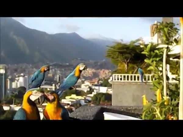 Wild Macaws Come For a Visit