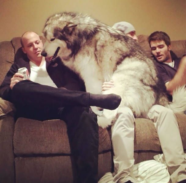 Not An Ordinary Lap Dog (46 pics)