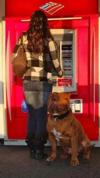 When Afraid To Withdraw Money From An ATM – Take Your Dog With You (11 pics)