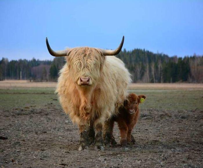Cute Calves (30 pics)