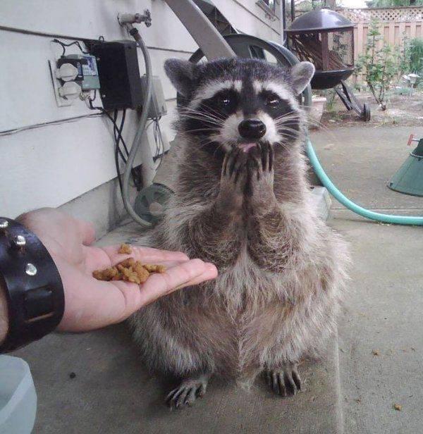 Cute Raccoons (30 pics)