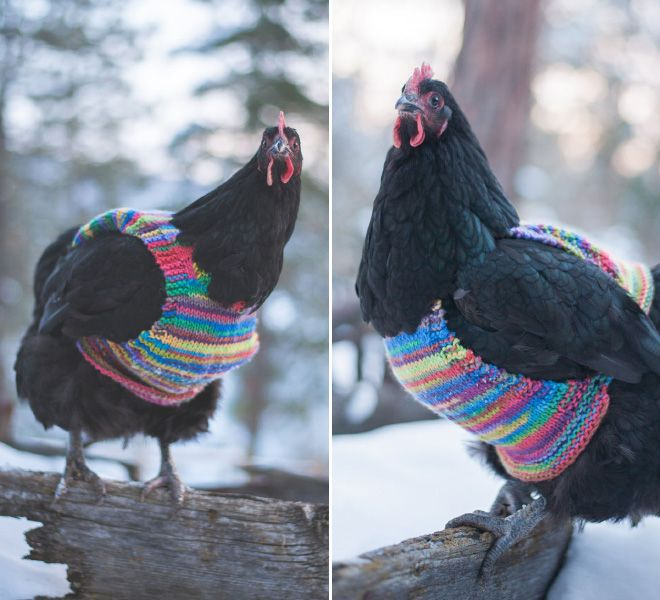 Chicken Chicken Fashion (15 pics)