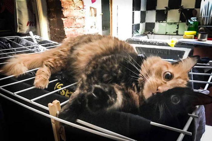 Chimera Kitten (11 pics)