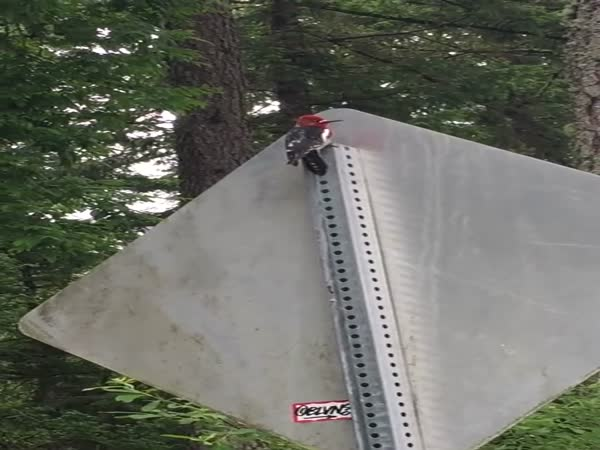 Stupid Woodpecker vs Street Sign