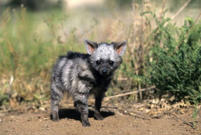 Aardwolves Are Cute (11 pics)