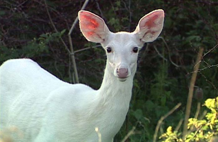 Albino Animals (26 pics)
