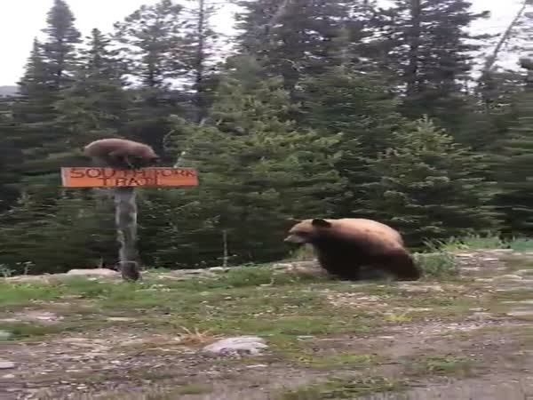 Bear Cub Climbs Sign And Girls In Car Freak Out