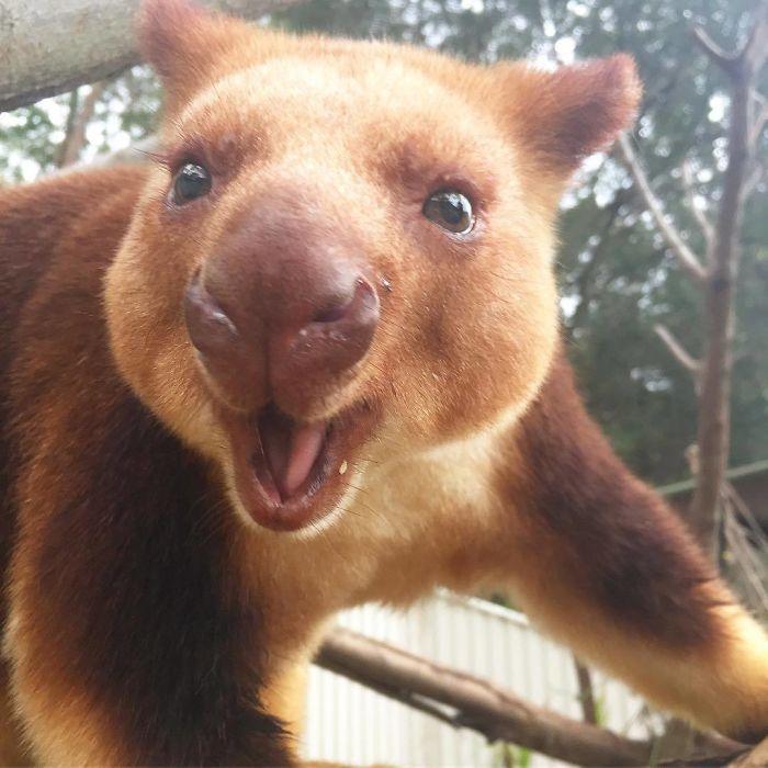 Tree-Kangaroos Are Cute (17 pics)