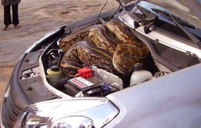 Found Under Cars' Hoods (20 pics)