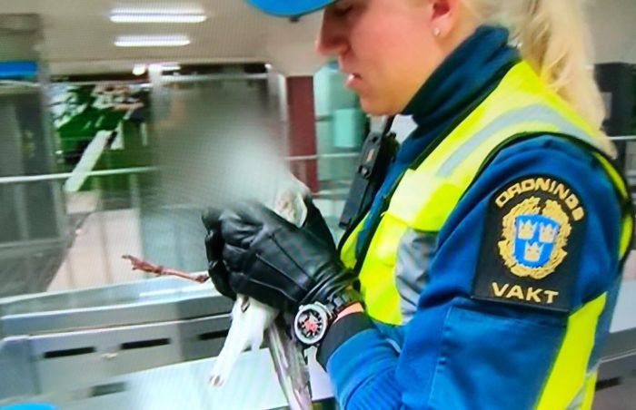 Swedish Television Channel Decided To Protect The Identity Of A Seagull That Was Saved From The Subway (3 pics)