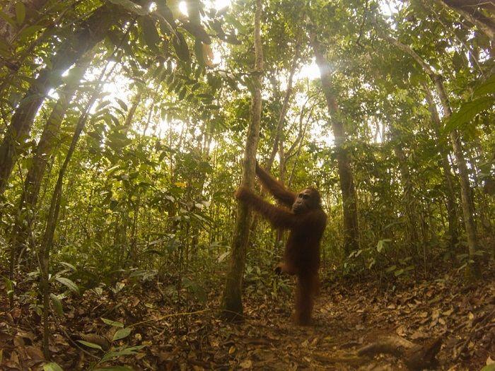 Orangutan Found A Hidden Camera In The Forest (8 pics)