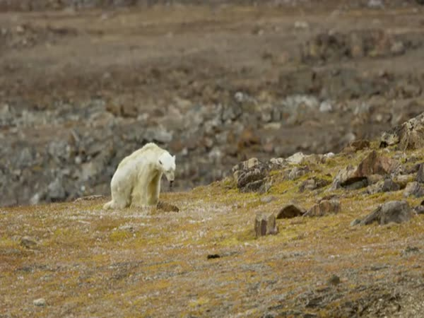 Starving Polar Bear Forced to Eat Trash