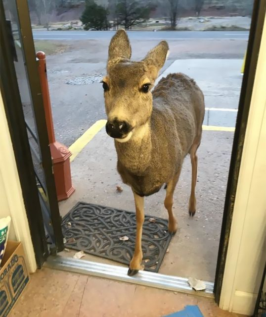 Deer Walks Into Store And Brings A Surprise (6 pics)
