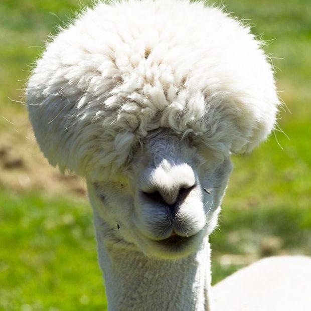 Shaved Alpacas (15 pics)