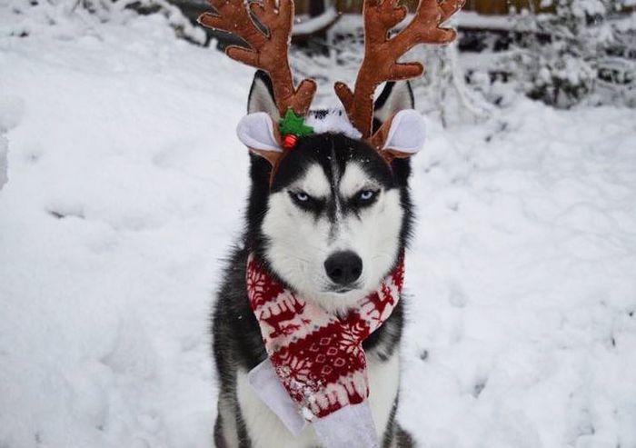 This Husky Hates Christmas (8 pics)