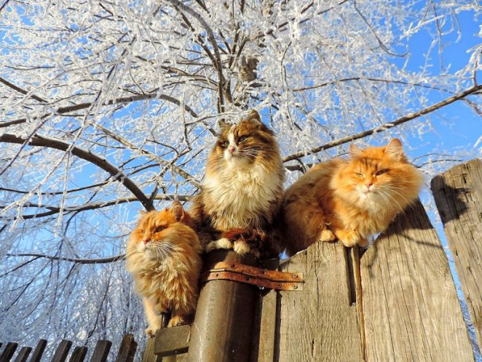 Siberian Farm Cats Have Absolutely Taken Over One Farmer's Land (21 pics)