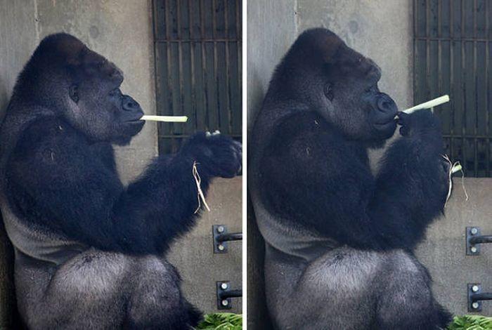A Cool Gorilla (13 pics)