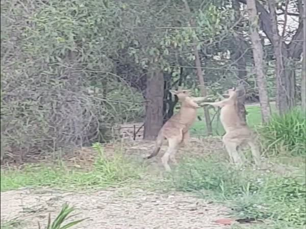 How To Stop Kangaroos From Fighting