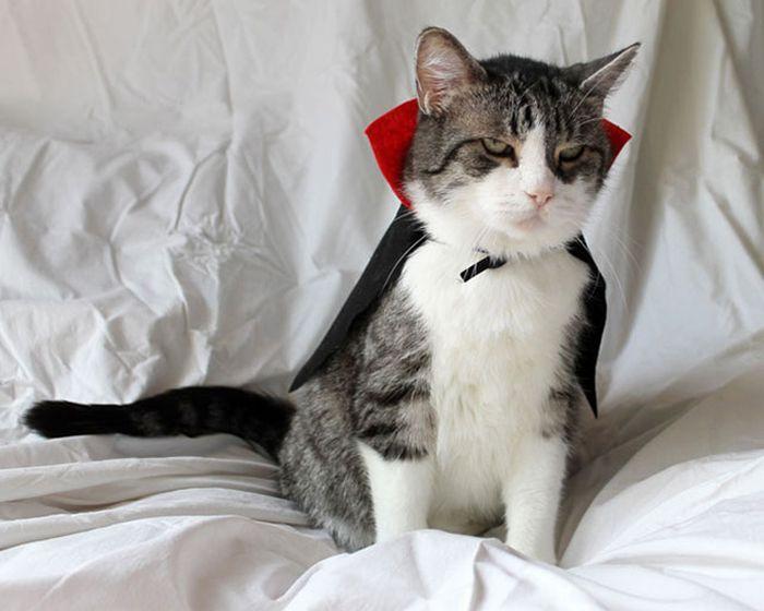 Cats Wearing Capes (16 pics)