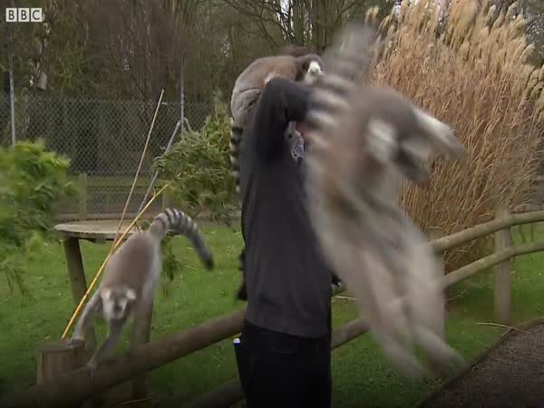 BBC Reporter Mobbed By Lemurs at British Zoo