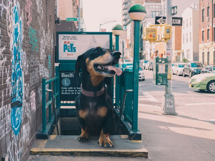 Photographer Makes His Wiener Dog As Big As She Thinks She Is (13 pics)