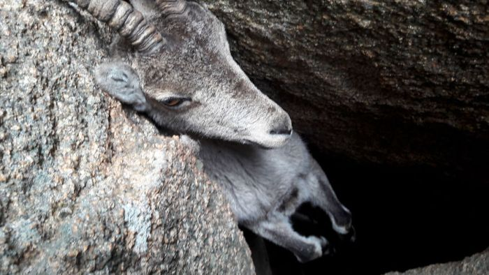 People Saved A Stuck Mountain Goat (3 pics)