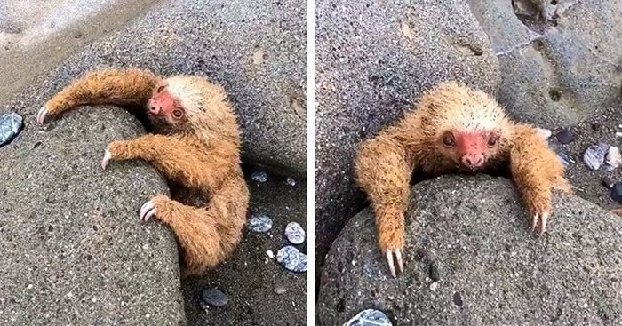 A Young Sloth Was Stuck In The Stones and Was Rescued (4 pics)