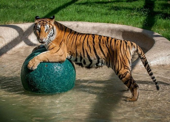 Before And After This Tiger Was Rescued. Unbelievable Photos (8 pics)