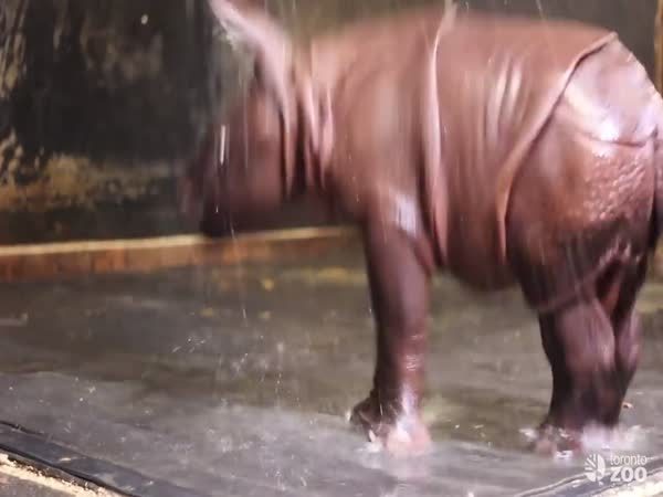 Toronto Zoo Greater One-Horned Rhino Calf Playing In Shower