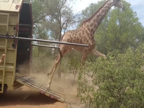 Giraffe Wipes Out Twice In New Home