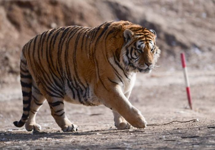 Retired Siberian Tigers In The Chinese Zoo At The Chilling Temperatures (8 pics)