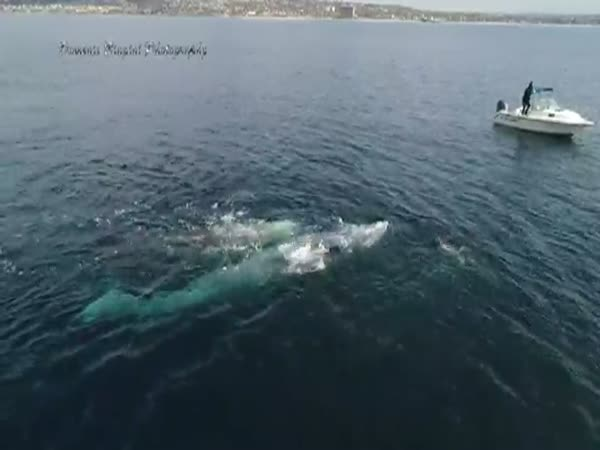 Drone Captures Amazing Video Of Two Whales Playing With Dolphins Like No Big Deal