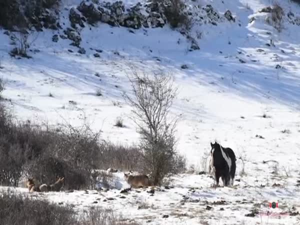 Horse Rolls Up On A Pack Of Wolves And Shows No Fear